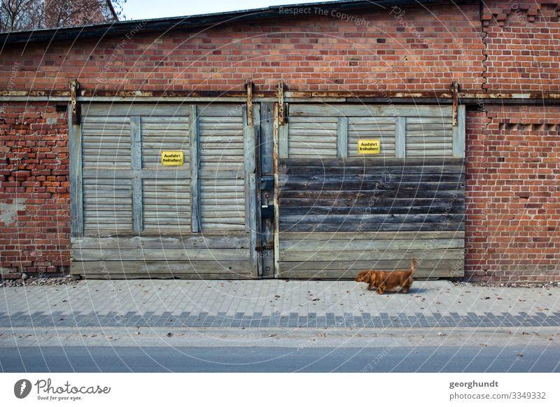 Vor einer alten Garage oder Werkstatt aus Backsteinen mit zwei hellgrünblauen Hängetoren geht ein kleiner brauner Hund entlang. Straße Halle Lager Haustier
