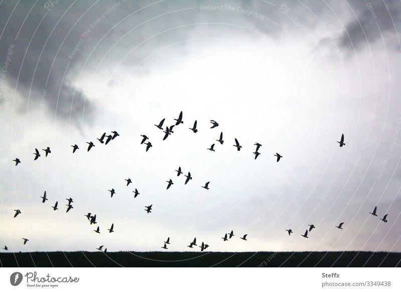 zum Abschied des Tages Umwelt Natur Landschaft Himmel Wolken Feld Deutschland Niedersachsen Europa Vogel Gans Schwarm fliegen frei natürlich schön wild grau