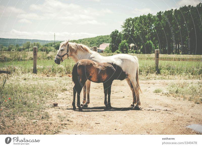 Zwei freie Pferde auf der Weide,Stute beim Stillen ihrer Zucht Essen Freiheit Natur Landschaft Tier Gras Wiese Feld Nutztier 2 Tierjunges Tierfamilie Fressen