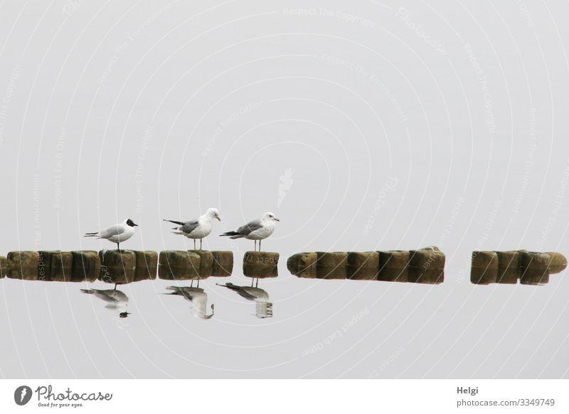 drei Möwen stehen im Nebel auf einer Buhne und spiegeln sich im Wasser Umwelt Natur Tier Frühling Insel Usedom Achterwasser Wildtier Vogel 3 warten ästhetisch
