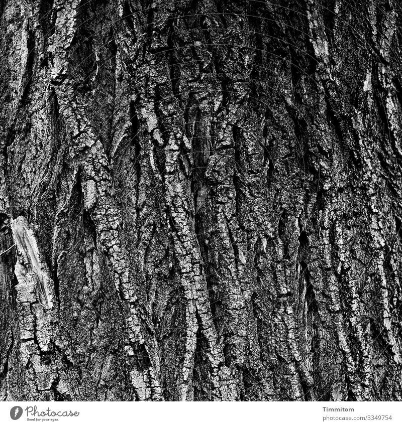 Alte Borke Umwelt Natur Baum Wald Holz alt grau schwarz weiß Gefühle Baumstamm Baumrinde Schwarzweißfoto Außenaufnahme Menschenleer Tag Kontrast