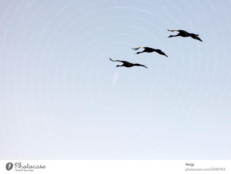 drei Kraniche fliegen im Gegenlicht in Formation vor blauem Himmel Umwelt Natur Tier Wolkenloser Himmel Herbst Schönes Wetter Wildtier Vogel Zugvogel 3
