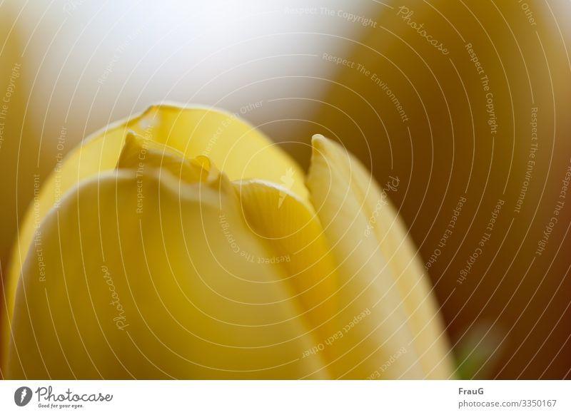 "Frühlingsbote- gelbe Tulpe Pflanze blüte nahaufnahme Frühlingsblüher,"" gelb blume Blume Nahaufnahme Blütenblatt Unschärfe Liliengewächs"