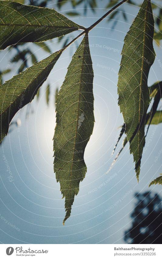 Esskastanie (Blätter) Sommer Umwelt Wachstum Natur Pflanze Himmel Wolkenloser Himmel Sonne Wetter Schönes Wetter Baum Nutzpflanze Garten Park Menschenleer hell