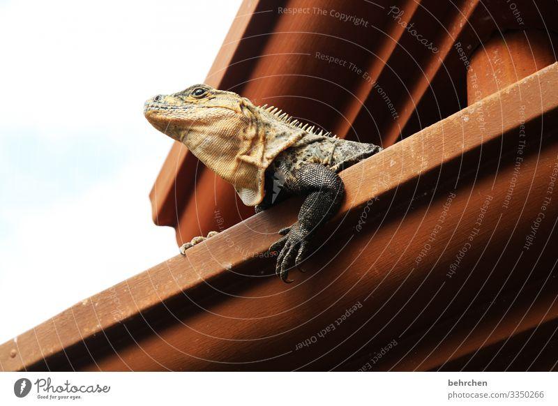 architektur und natur | hausbesetzer Schuppen Reptil niedlich besonders Dachrinne Gecko Eidechse Leguane Costa Rica Ferien & Urlaub & Reisen Natur Ausflug