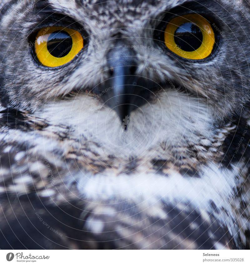unter Beobachtung Ferien & Urlaub & Reisen Tourismus Ausflug Freiheit Umwelt Natur Tier Wildtier Vogel Tiergesicht Zoo Eulenvögel Eulenaugen Schnabel 1