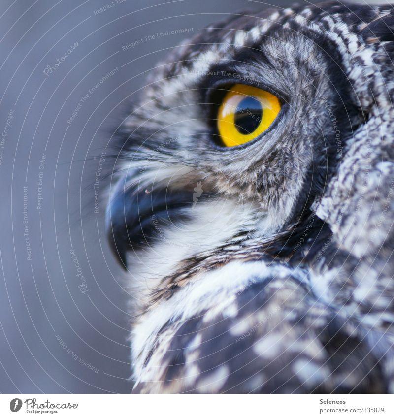 scharfe Beobachtung Natur Tier Umwelt natürlich Vogel Wildtier beobachten Feder weich nah Tiergesicht Schnabel gefiedert Eulenvögel Uhu Eulenaugen