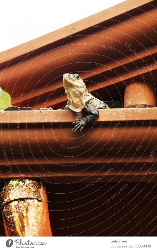 besetzt   hier wohn ich! Cool Coolness Detailaufnahme Farbfoto lustig interessant Krallen Schuppen Reptil niedlich Leguane Eidechse Gecko Dach Dachrinne
