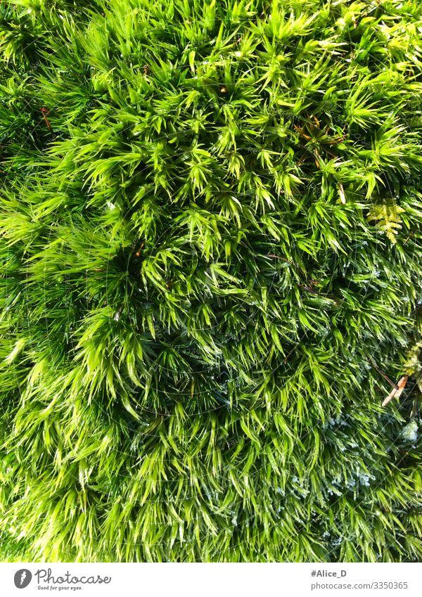 Moos Waldboden Nahaufnahme Umwelt Natur Pflanze Erde authentisch frisch nass natürlich weich grün Design Klima rein Umweltschutz Bodendecker Hintergrundbild