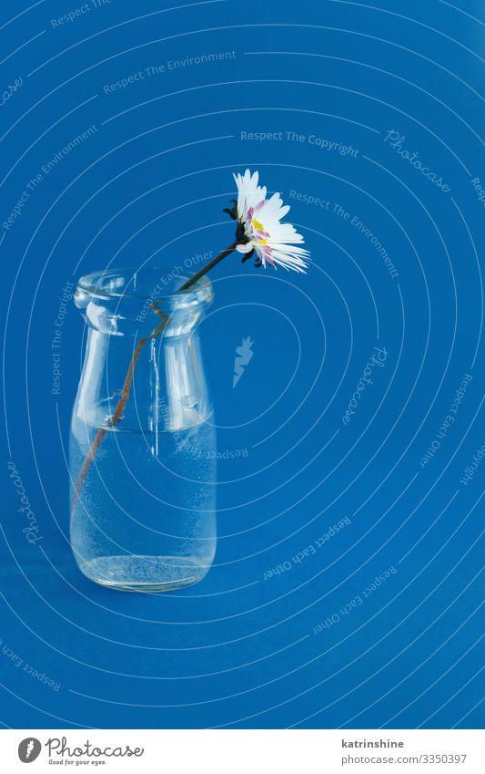 Frühlingskomposition mit Gänseblümchen in einem Glasgefäß Design Dekoration & Verzierung Hochzeit Frau Erwachsene Mutter Blume blau weiß Kreativität Wasser