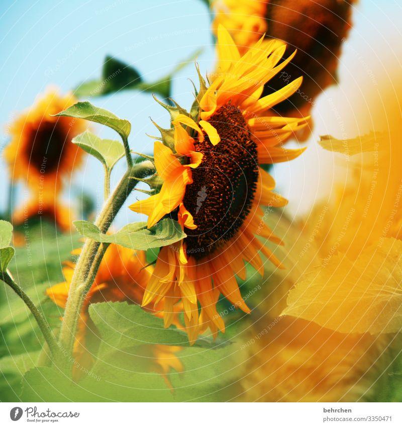 lass die sonne in dein herz | sonnenblumen Unschärfe Kontrast Licht Tag Menschenleer Detailaufnahme Nahaufnahme Außenaufnahme Farbfoto Hoffnung Schönes Wetter