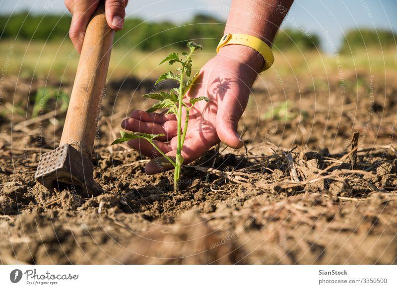 Männerhand berührt junge Tomatenpflanze. Gemüse Leben Garten Arbeit & Erwerbstätigkeit Gartenarbeit Frau Erwachsene Hand Natur Landschaft Pflanze Erde Blatt
