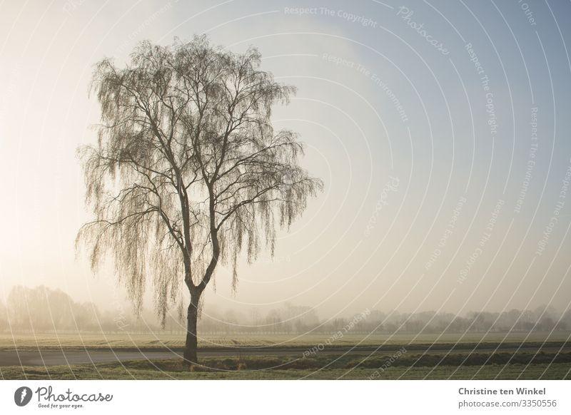 Baum im Morgennebel Umwelt Natur Landschaft Himmel Sonnenlicht Winter Nebel Pflanze Birke Feld Wald ästhetisch authentisch Freundlichkeit hell kalt natürlich