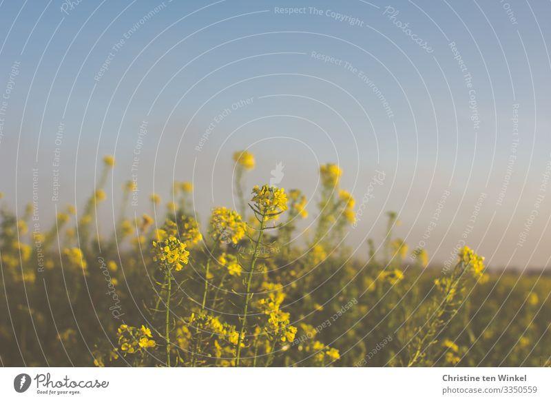 blühender Gelbsenf vor blauem, diesigem Himmel Umwelt Natur Wolkenloser Himmel Frühling Herbst Winter Schönes Wetter Pflanze Blatt Blüte Nutzpflanze Blühend