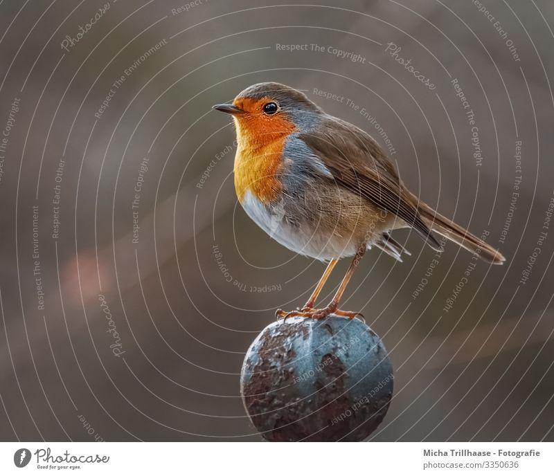 Rotkehlchen auf dem Zaunpfahl Natur blau Sonne Tier gelb Auge Beine natürlich klein orange Vogel braun Kopf leuchten Wildtier stehen