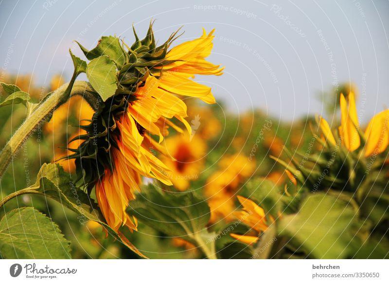 SONN(ensommer)TAG Natur Sommer Schönes Wetter Blume Blüte Sonnenblume Licht Garten Kontrast Sonnenlicht Unschärfe Sonnenblumenfeld Tag Menschenleer