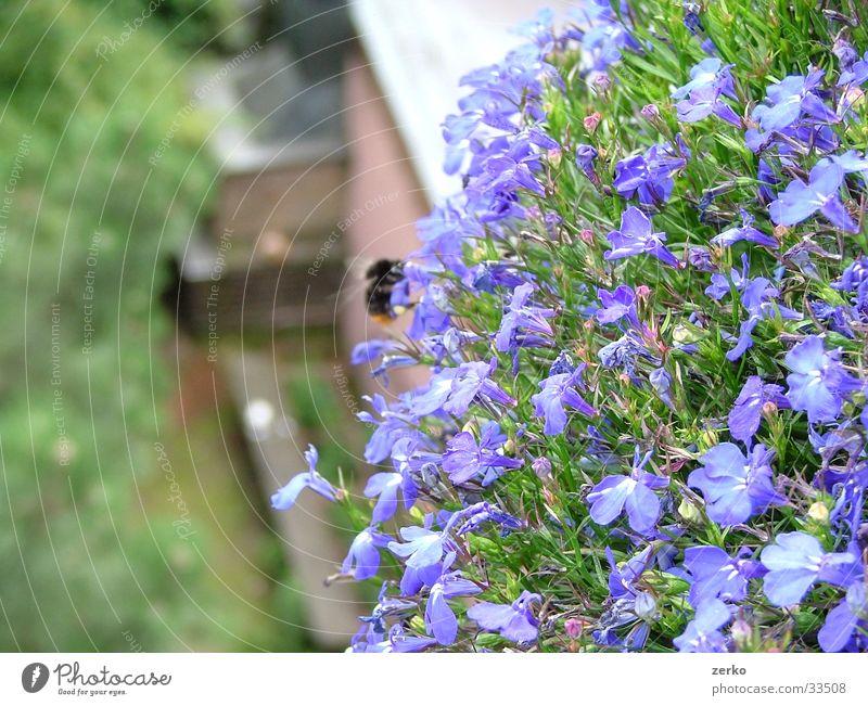 Bienenfütterung Blume blau Bank violett Balkon Tiefenschärfe Grill Hummel Brennpunkt