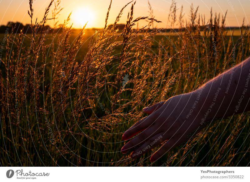Frauenhand berührt hohes Gras bei Sonnenuntergang, goldene Stunde Wohlgefühl Erholung ruhig Sommer Mensch feminin Hand Umwelt Natur Landschaft berühren weich