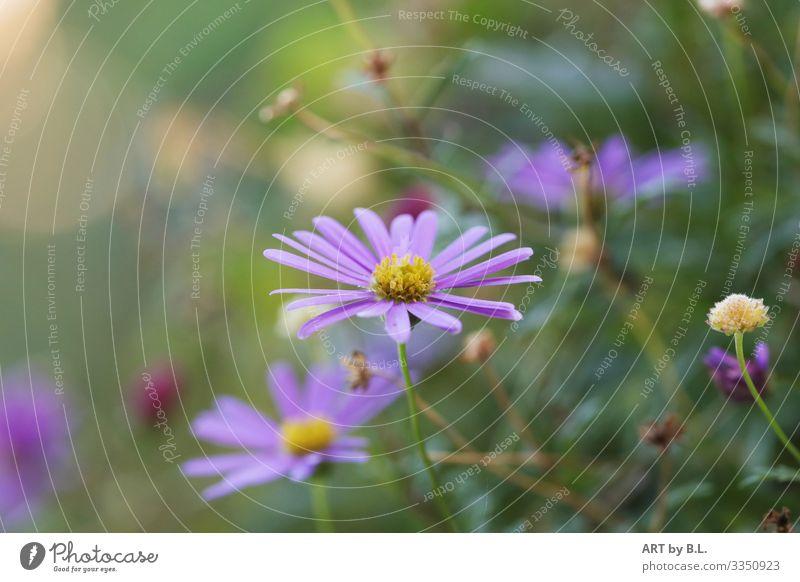 Australisches Gänseblümchen Natur Pflanze Frühling Sommer Blume berühren Blühend Duft entdecken blau grün violett rosa Kraft Mut Tatkraft schön Begierde Lust