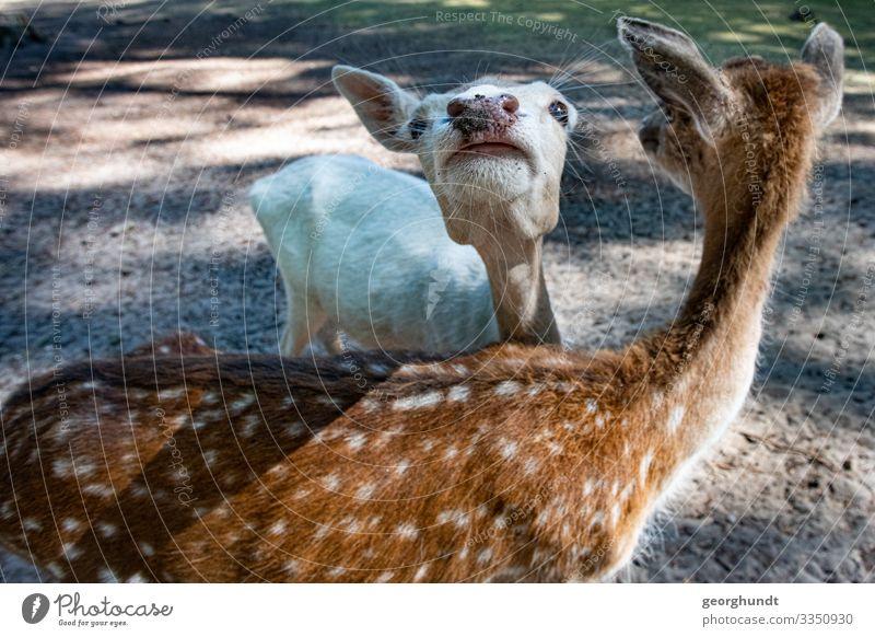 Fleckys Fleisch 2 Mensch Tier Wald Wildtier Tiergruppe Tierpaar braun Sympathie paarweise Paarhufer Reh Wildfleisch Tierjunges Farbfoto Außenaufnahme