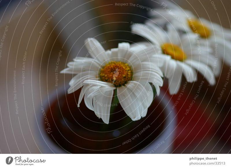 zu dritt Blume Blumentopf weiß gelb Pflanze Makroaufnahme Margaritte Margerite