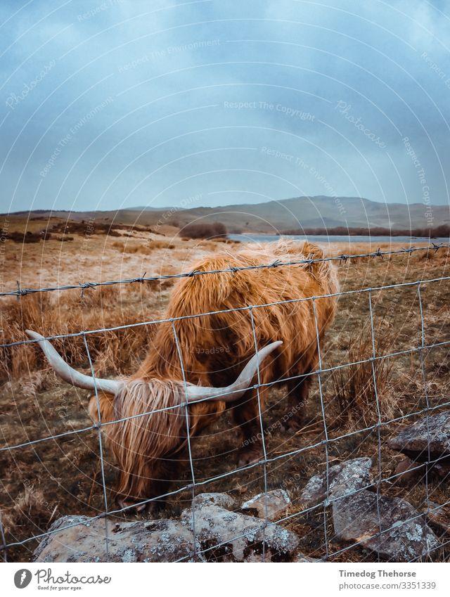 Hochlandkuh Essen See Kuh Fressen Stimmung Schotten Schottische Kuh Wales Essen von Tieren dramatisch Zaun Schottisches Hochlandrind Hörner Subjekt walisisch
