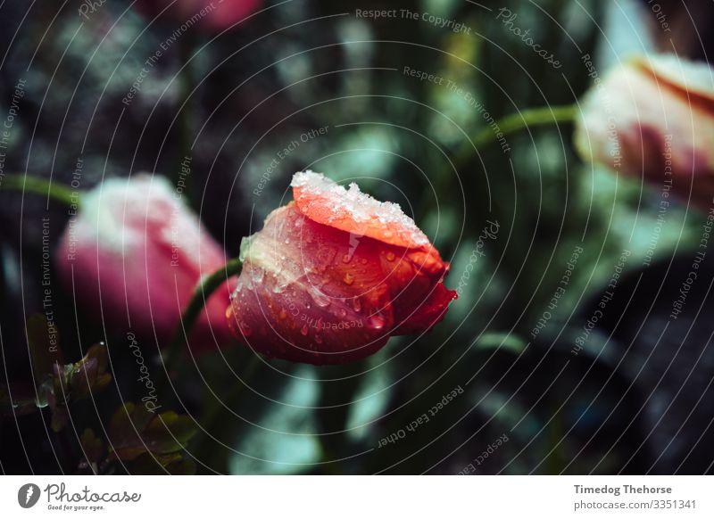 Natur Pflanze weiß rot Blume Einsamkeit Blatt Winter Schnee Wassertropfen Coolness Tropfen frieren anlehnen Blütenstiel angewinkelt