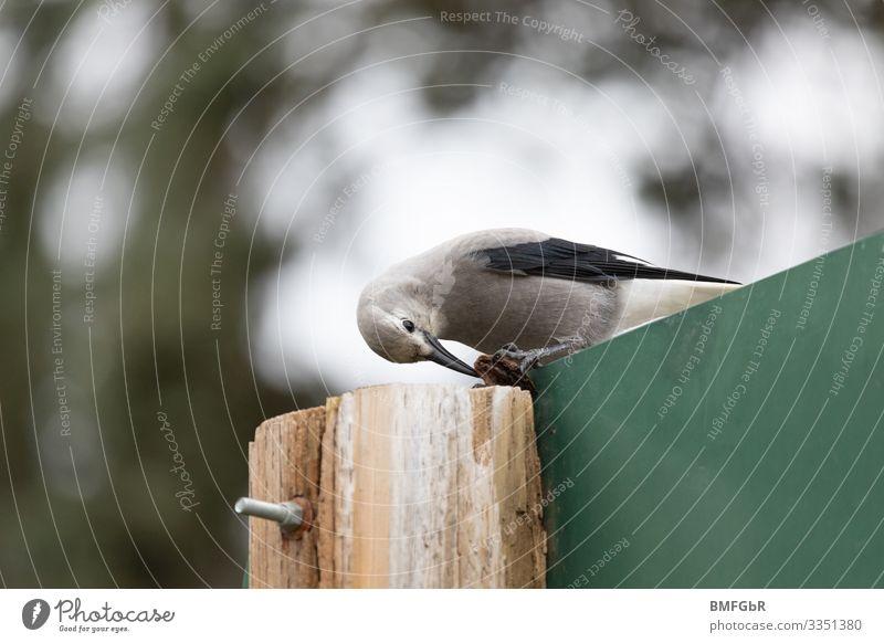 Kiefernhäher versucht Beute zu knacken. schön Tier Lebensmittel lustig Vogel Wildtier Feder festhalten Lebewesen Konzentration Fressen Rabenvögel Tierliebe
