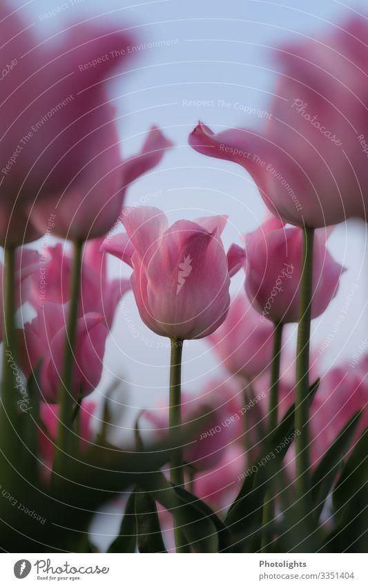 Pinke Tulpen Natur Pflanze schön grün rot Blatt Blüte Frühling Garten rosa Park träumen Feld Romantik Blühend Duft