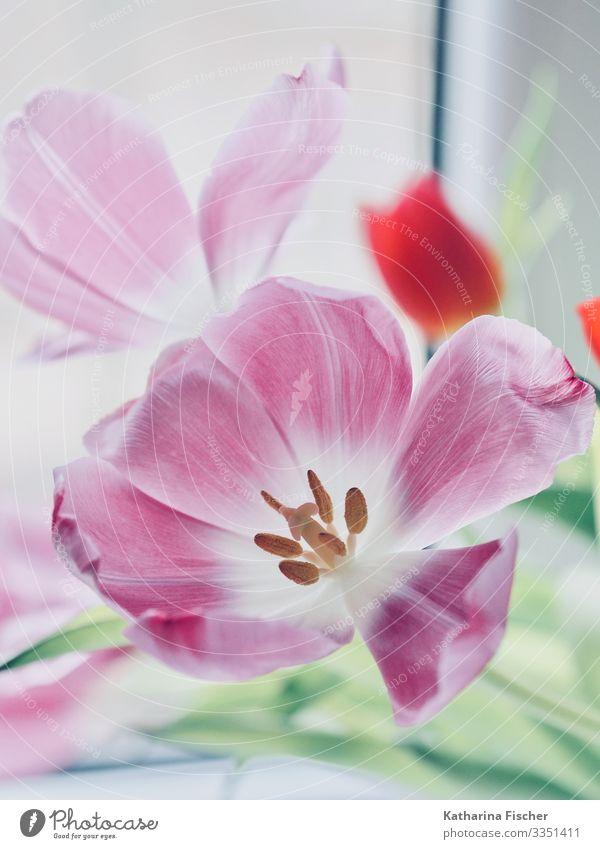 Tulpenzeit Natur Pflanze Frühling Sommer Herbst Winter Blatt Blüte Blumenstrauß Blühend ästhetisch schön grün rosa rot weiß Dekoration & Verzierung