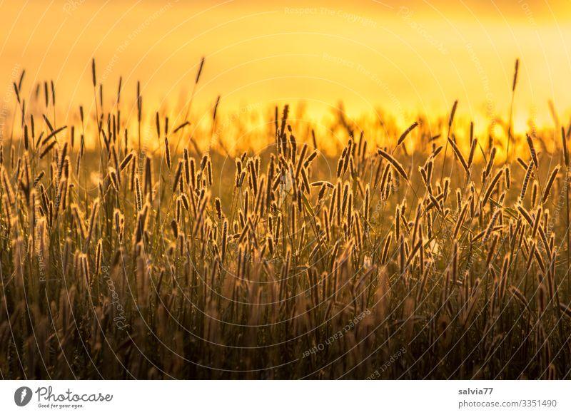 Gräserblüten im Abendlicht Natur Sommer Lichtstimmung Wärme Grasland Grasblüte Außenaufnahme Farbfoto Schwache Tiefenschärfe Warme Farbe Warmes Licht Stimmung