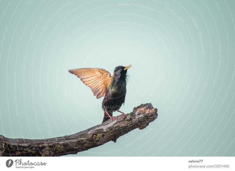 wieder da Umwelt Natur Luft Himmel Frühling Schönes Wetter Pflanze Baum Tier Wildtier Vogel Flügel Star Schnabel Ornithologie 1 außergewöhnlich singen Brunft