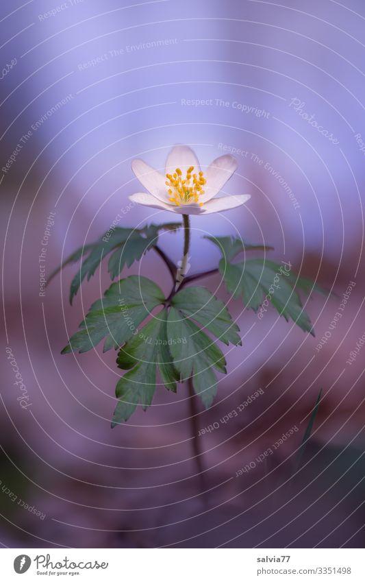 Pflanzenportrait | Buschwindröschen Natur Blume Blüte Makroaufnahme Nahaufnahme Frühling Farbfoto Außenaufnahme Freisteller Hintergrund neutral