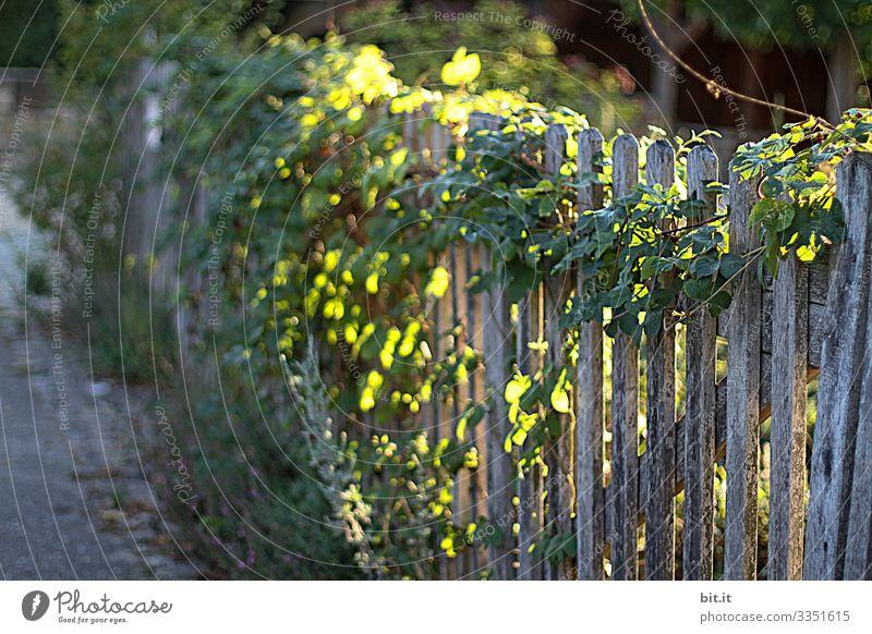 Mit Hopfen bewachsener, natürlicher, ökologischer, alter, uriger Gartenzaun aus Holz mit Pflanzen, leuchtet schön idylisch im Sonnenlicht / Lichteinfall / Lichtspiel der Dämmerung, am Abend und Morgen.