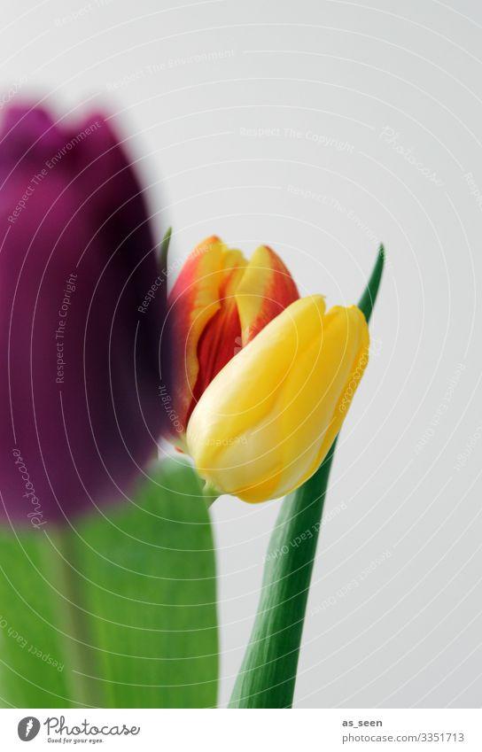 Frühlingskomposition Lifestyle Leben harmonisch Innenarchitektur Dekoration & Verzierung Muttertag Ostern Geburtstag Sommer Pflanze Blume Tulpe Blatt Blüte