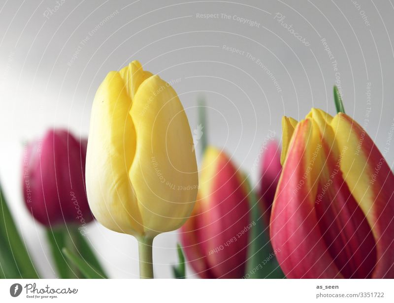 Der Sonne entgegen Garten Dekoration & Verzierung Valentinstag Ostern Geburtstag Gartenarbeit Floristik Natur Pflanze Frühling Sommer Blume Tulpe Blüte