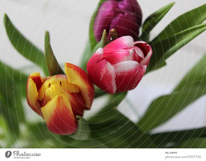 Frühlingsboten Lifestyle harmonisch Dekoration & Verzierung Valentinstag Ostern Geburtstag Natur Pflanze Blume Tulpe Blumenstrauß Blühend leuchten ästhetisch