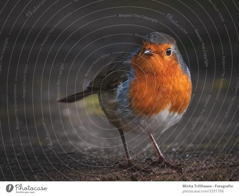 Neugierig schauendes Rotkehlchen Natur Tier Sonne Sonnenlicht Schönes Wetter Wildtier Vogel Tiergesicht Flügel Krallen Kopf Schnabel Auge Beine Feder gefiedert