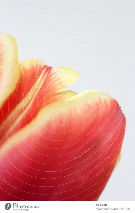 Aufblühen Lifestyle Wellness Dekoration & Verzierung Valentinstag Muttertag Ostern Geburtstag Frühling Sommer Pflanze Tulpe Blüte Blumenstrauß Blühend leuchten