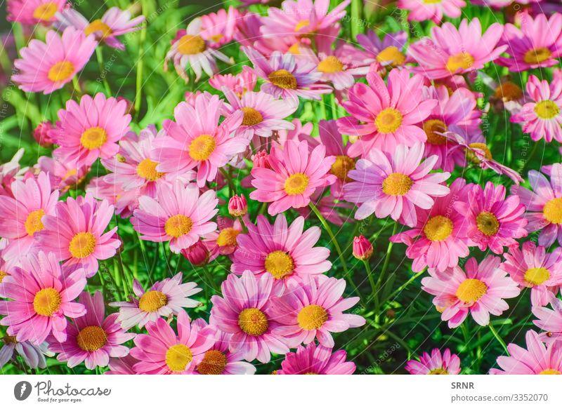 ?hrysantheme Natur Pflanze Blume Blüte Blühend Anthesis Überstrahlung aufblühen Chrysantheme gänseblümchenartig geblümt Blütezeit Röschen Blütenknospen
