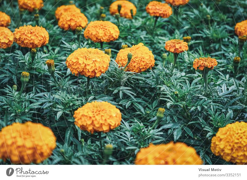 Blumen der afrikanischen Ringelblume elegant schön Garten Dekoration & Verzierung Gartenarbeit Natur Pflanze Blatt Blüte Park Wiese Blühend Wachstum frisch