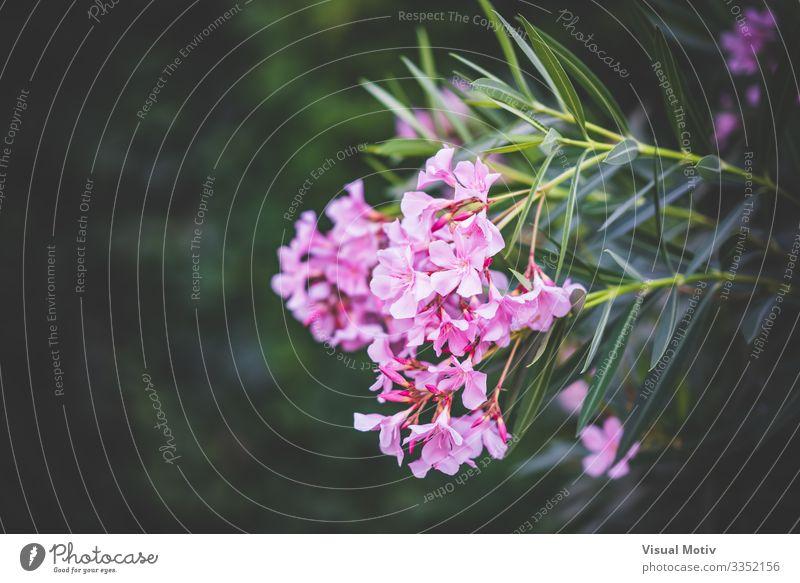 Nerium-Oleander-Strauch in Blüte schön Sommer Sonne Garten Natur Landschaft Pflanze Blume Sträucher Blatt Park frisch natürlich grün rosa Farbe geblümt Buchse