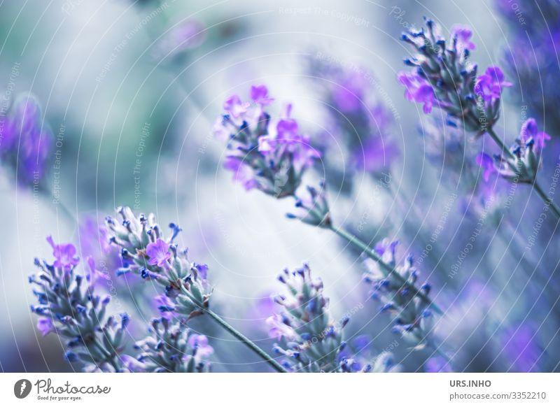 Lavendel im Sommerwind Natur Pflanze Blume Blüte Lavendula Blühend Duft schön blau grün Lippenblüter Zierpflanze graufilzig aromatisch Kurztrieb Scheinquirle