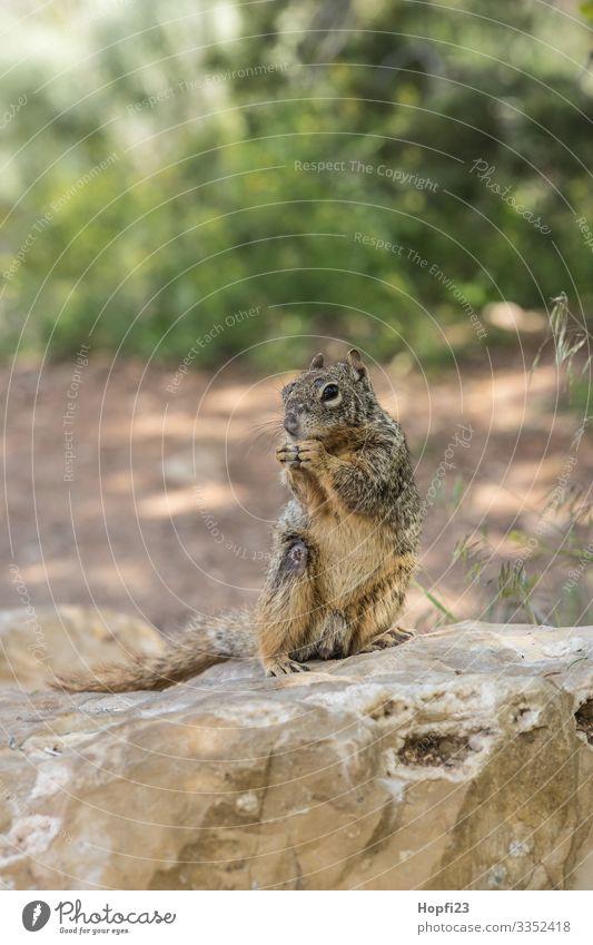 Eichhörnchen sitzt auf einem Felsen Säugetier Fell braun klein süß Nagetiere Stein Sträucher grün sitzen knabbern nagen beobachten