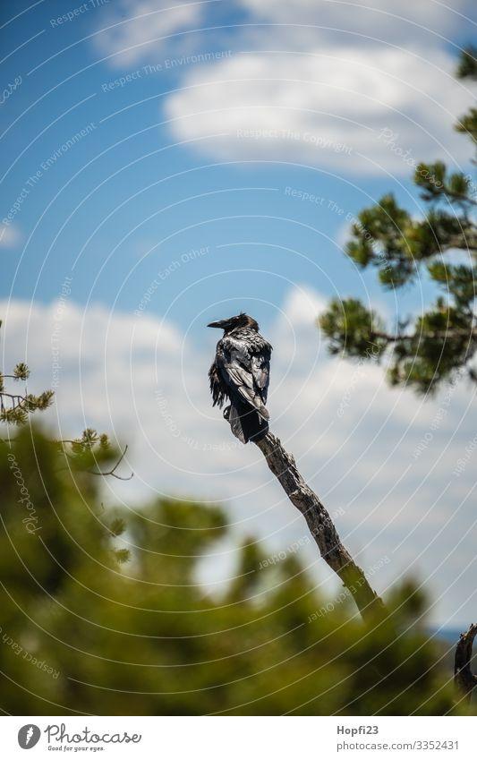 Rabe auf einem Ast Rabenvögel schwarz Federn Baum Wolken Himmel Sträucher grün Kiefer Glanz glänzend Vogel Tier