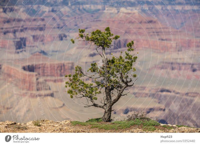 Kleine Kiefer am Grand Canyon Umwelt Natur Landschaft Tier Wasser Frühling Sommer Schönes Wetter Pflanze Baum Gras Hügel Felsen Schlucht Erholung