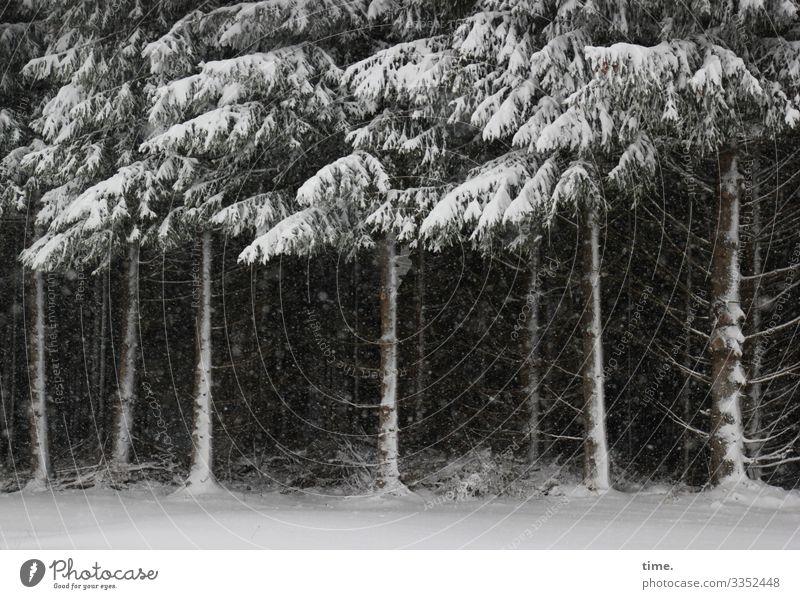 Zusammenhalt | Eiszeit Winter Schnee Schneefall Baum Kiefer Nadelbaum Waldrand dunkel Zusammensein Gelassenheit geduldig ruhig Ausdauer standhaft Müdigkeit