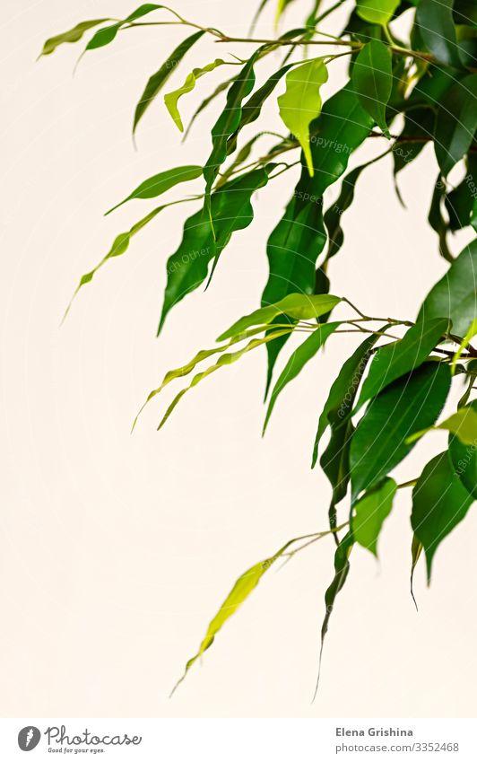 Junge Blätter des Ficus benjamin aus nächster Nähe. exotisch Wohnung Dekoration & Verzierung Büro Natur Pflanze Baum Blatt Wachstum natürlich grün Kreativität