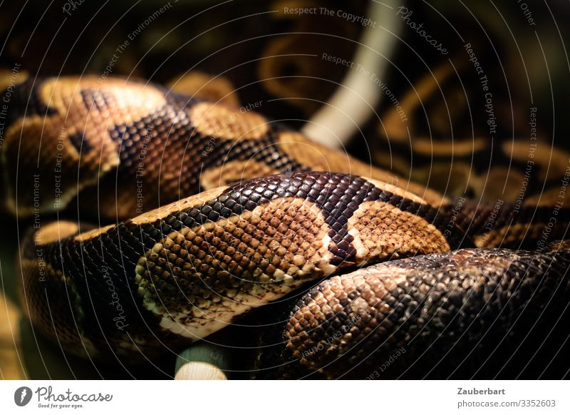 Verschlungen Wohlgefühl Erholung Tier Nutztier Schlange Schuppen schlangenförmig Schlangenhaut Schlangenmaserung Reptil 1 liegen bedrohlich exotisch wild braun