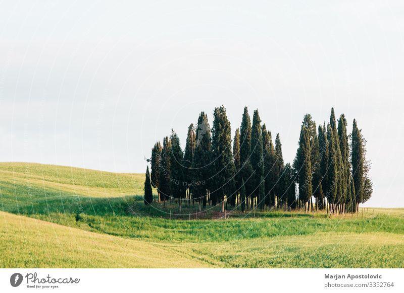 Ansicht von Zypressen in der Landschaft der Toskana, Italien Umwelt Natur Pflanze Frühling Sommer Baum Gras Wiese Feld Europa schön natürlich grün
